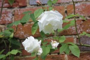 rosa climbing mrs herbert stevens 300x200 Rosa Mrs Herbert Stevens