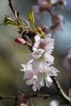 Herbstkirsche/Autumn Cherry