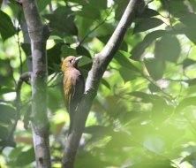 bamboo woodpecker 1