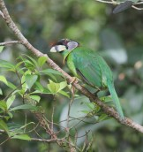 Fire tufted Barbet 2