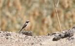 Woestijntapuit / Desert Wheatear