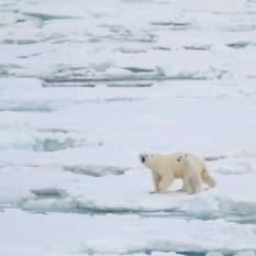 ijsberen groenlands 2
