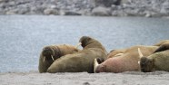 Walrus strand