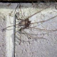 L'araignée géante est bel et bien en Belgique: on l'a découverte à Cuesmes, près de Mons