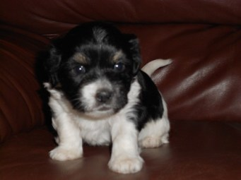 Tri-coor puppy - four weeks old