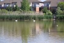 2017-Amica-Swan-Lake-6-10-17-IMG_0099