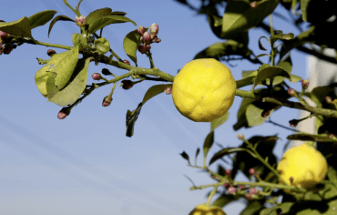lemons-blue-skies-green-leaves