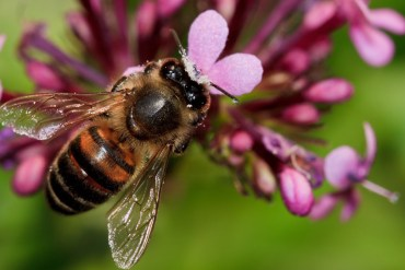 bee-pink-flower-wings