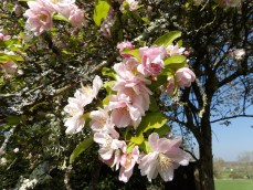 Apple blossom is everywhere - should I be looking forward to autumn?