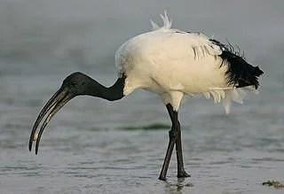 ibis-thoth