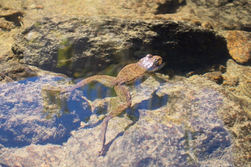 The endangered Sierra Nevada Yellow-Legged Frog