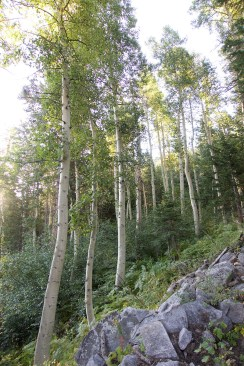Aspens on Bear Ridge