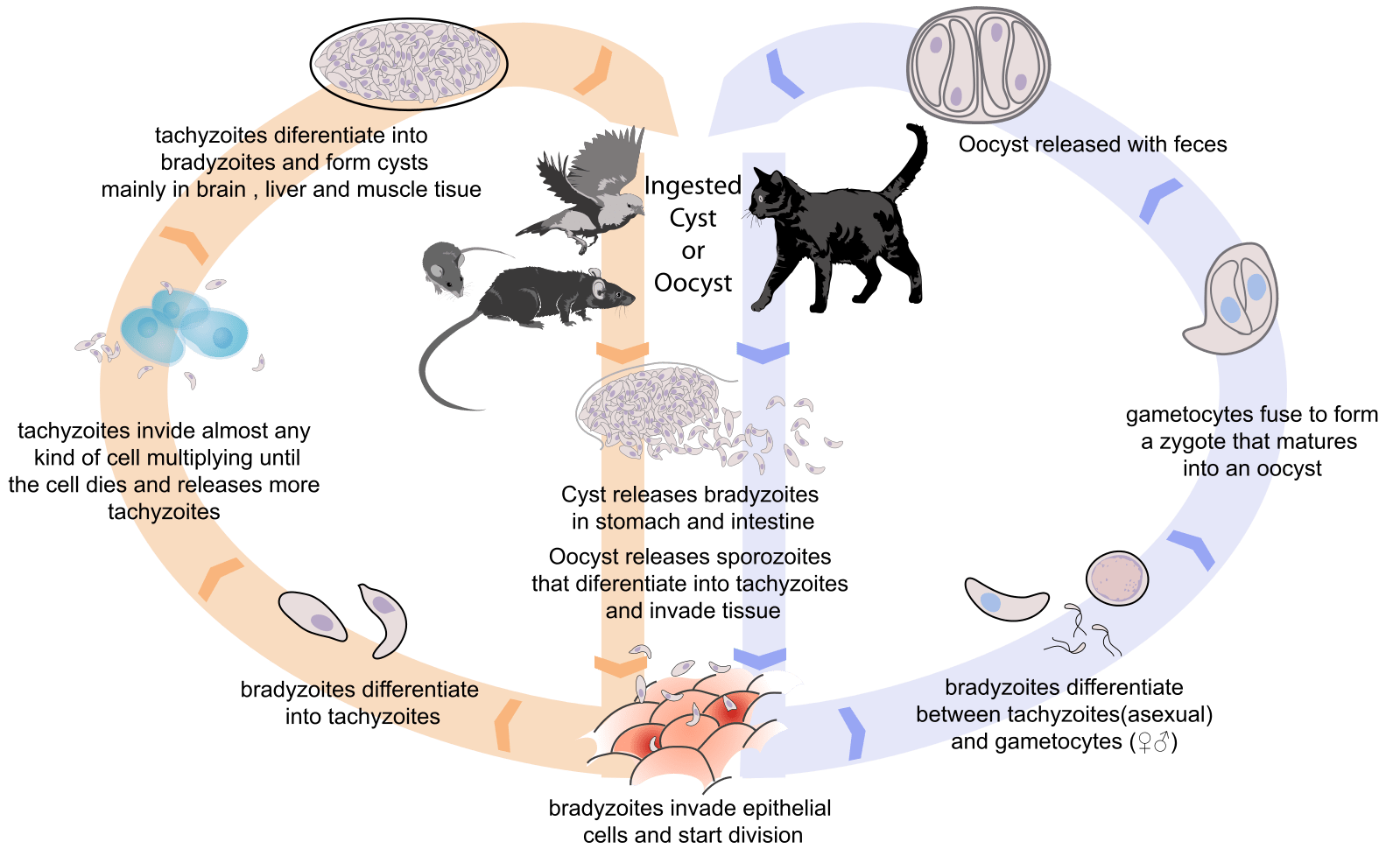 human life cycle stages diagram simple wiring of a house toxoplasma gondii  rising ape collective
