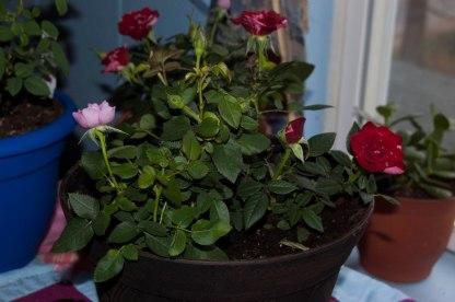 memorial roses (1 of 1)
