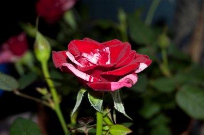 memorial roses 2 (1 of 1)