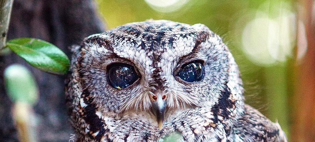 zeus the rescued blind owl has stunning galaxies in his eyes