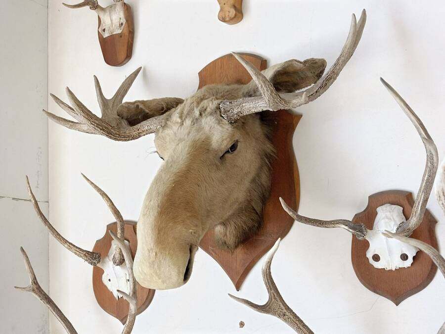 canadian first nations outraged by the killing of 'sacred' white moose