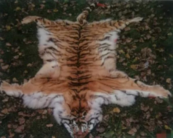 chinese wild animal shelter accused of secretly dissecting tigers