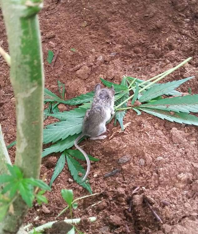 """wild mouse goes through """"rehab"""" after eating cannabis plant"""