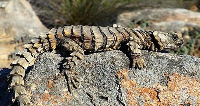 meet the armadillo lizard: planet earth's real-life mini-dragon