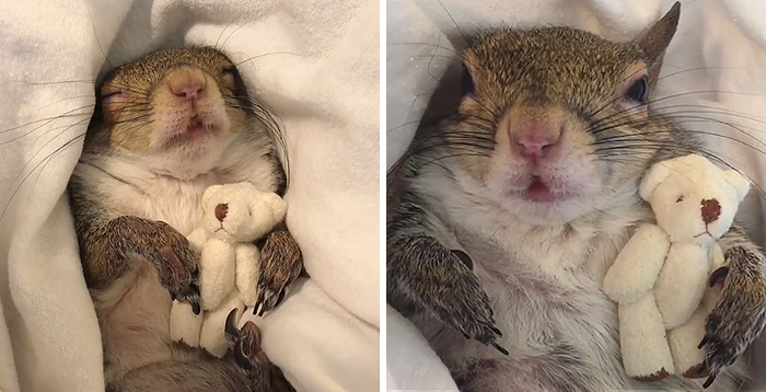 adorable squirrel rescued from hurricane can't sleep without her cuddly teddy bear, and people can't handle her cuteness