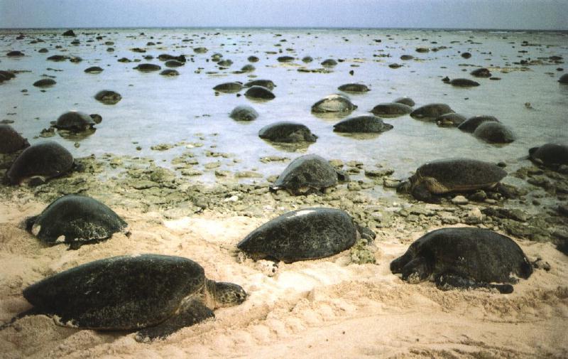 world's largest green sea turtle colony filmed heading towards nesting ground in australia