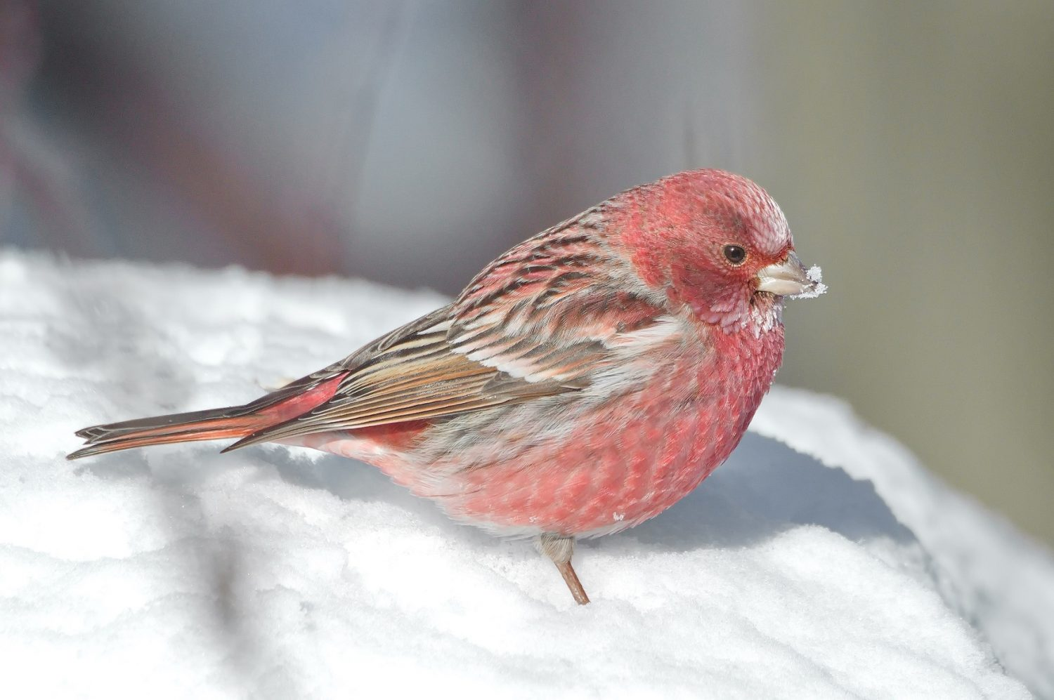 pink rosefinches catches the attention of the internet worldwide