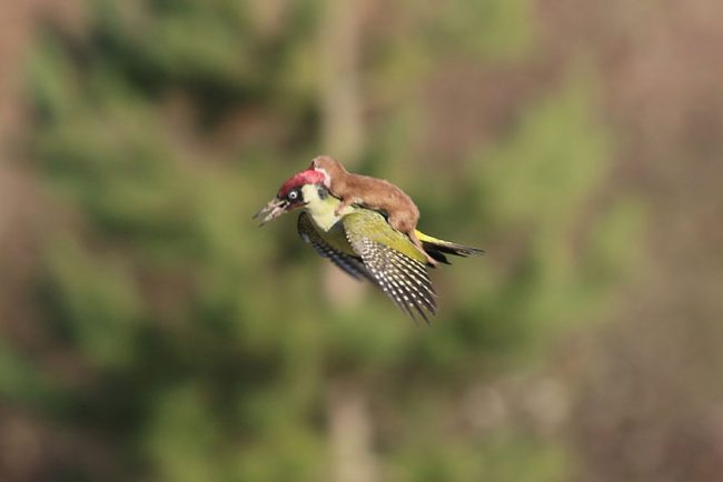 photographer captures baby weasel taking a magical ride on woodpecker's back