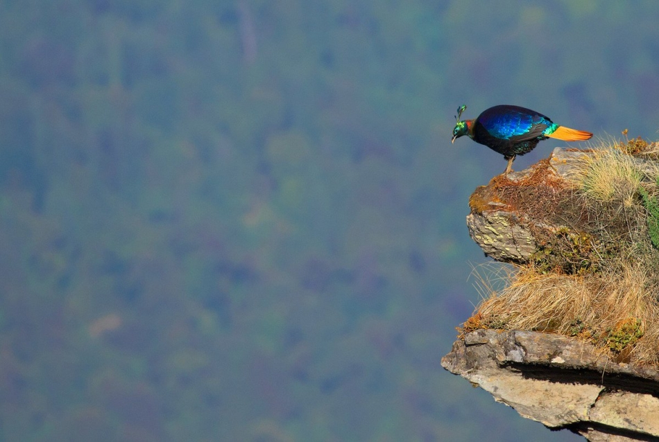 the himalayan monal is a beautiful mountain pheasant who displays a striking rainbow plumage