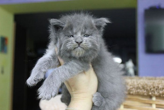 this entire litter of fluffy maine coon kittens were all born with cute, grumpy faces