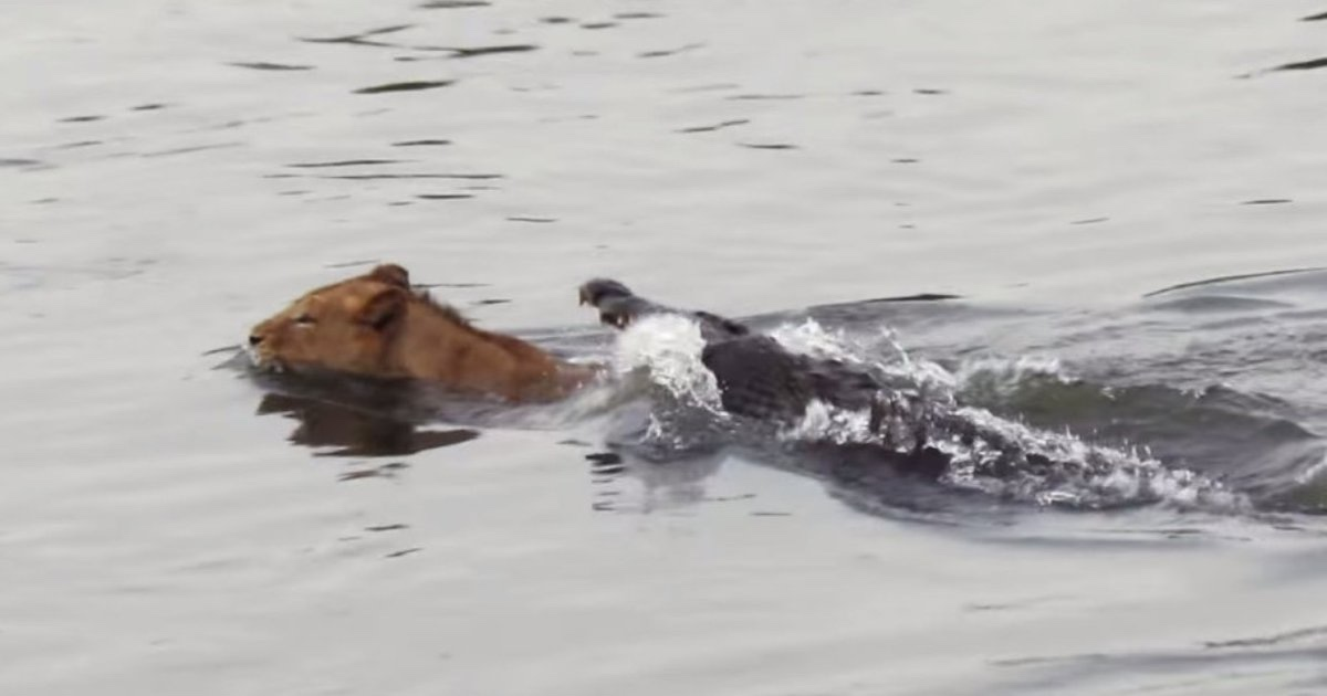 video shows dog eaten by crocodile in remote queensland