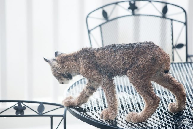 man wakes up to find lynx family playing on his porch