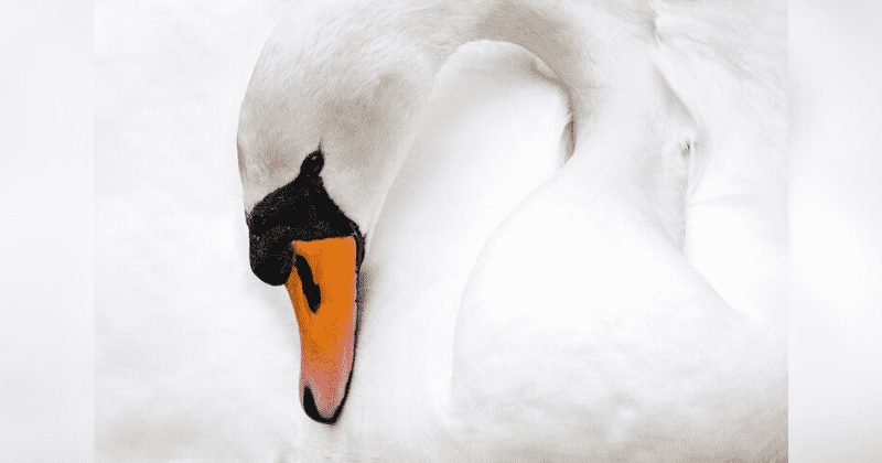mother swan dies of broken heart after teenagers kill her eggs and destroys her nest with bricks
