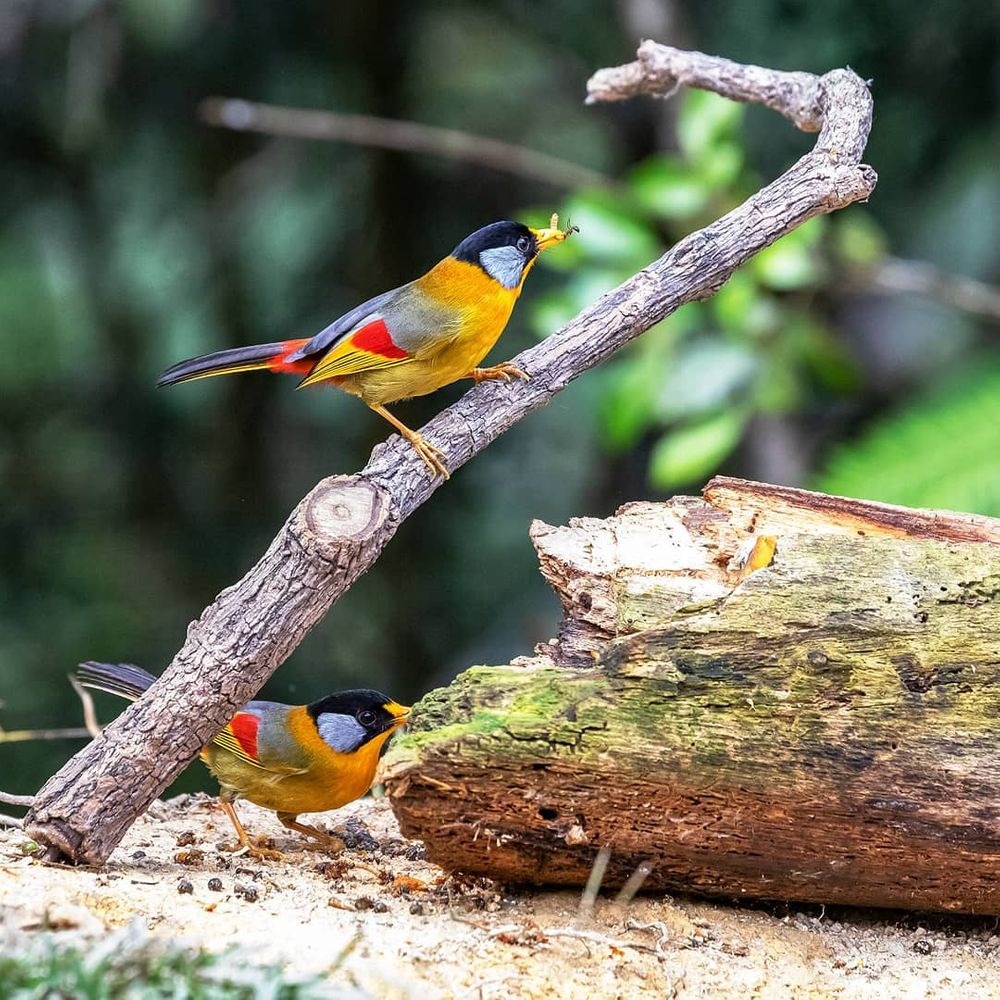 the silver-eared mesia is a beautiful mix of autumnal colors