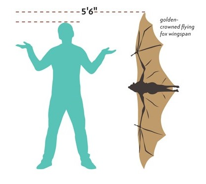 All About The Giant Golden-crowned Flying Fox, The World's Largest Bat