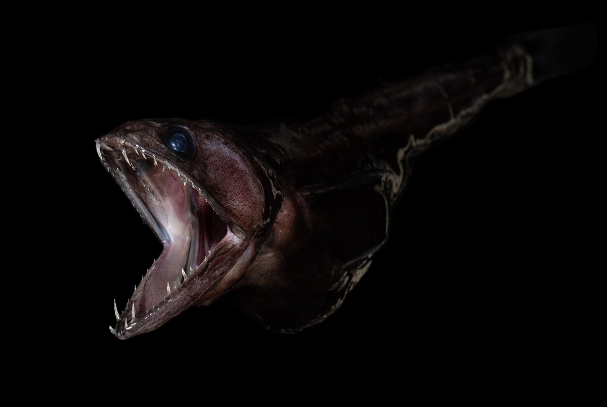 You Don't Want To Meet The Black Swallower – The Terrifying Predator Of The Deep Sea