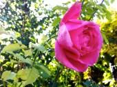 Pink Roses - Generalife