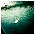 Swans in Lugano