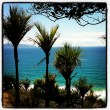 Cliff Walk Cabbage Trees