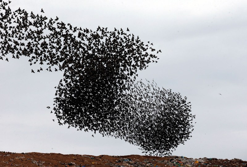 Murmations of Starlings