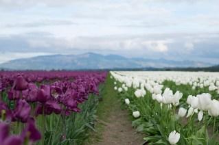 tulip_DSCF2191