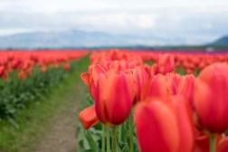 tulip_DSCF2199