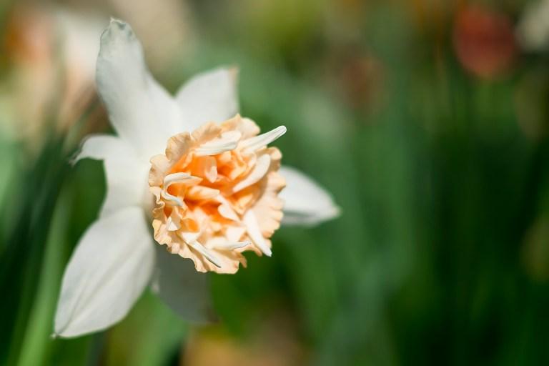 daffodils_DSCF9989