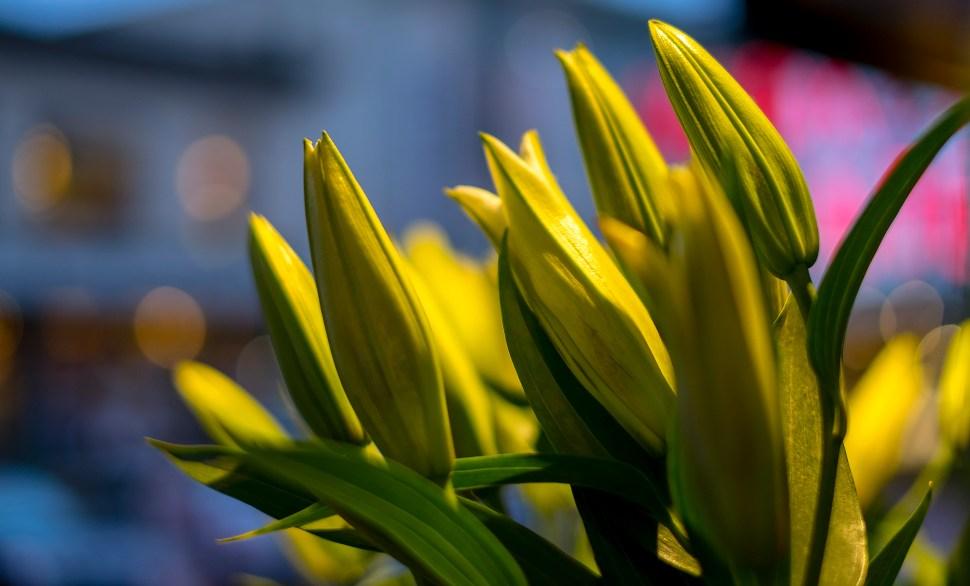 lillies_DSCF9105.jpg