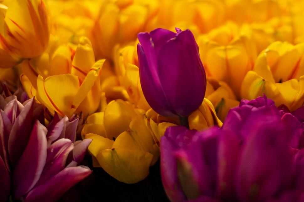 tulip01_DSF2252