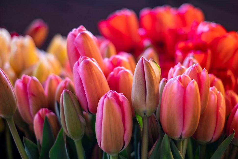 tulip02_DSF2253