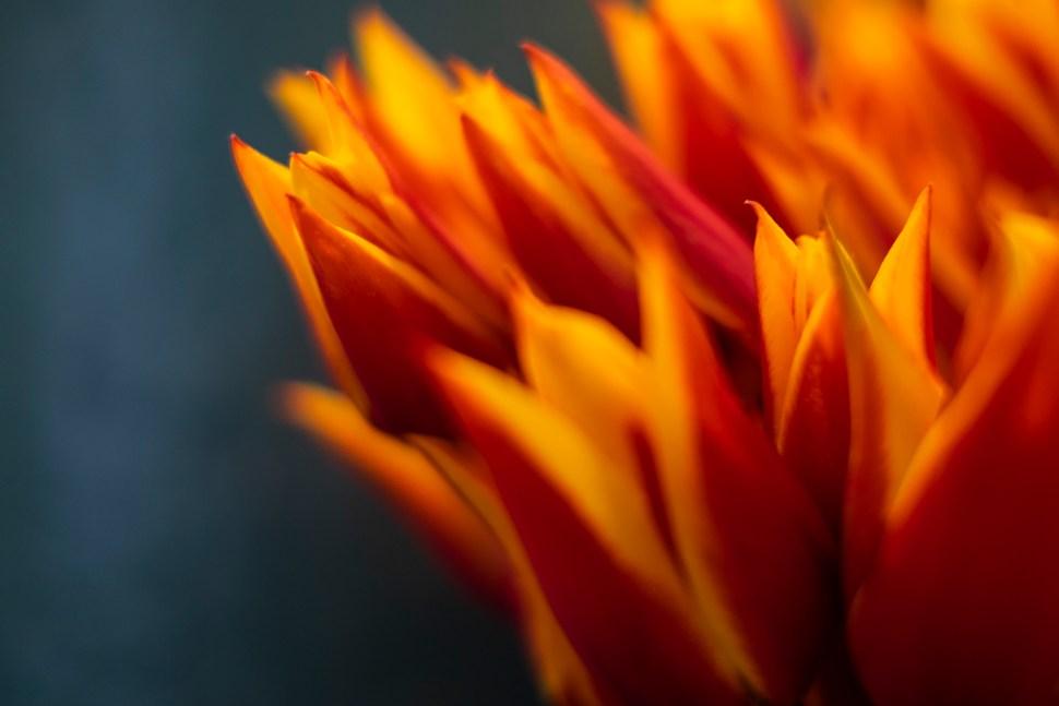 tulip05_DSF2260