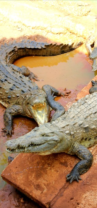 crocodiles at a farm