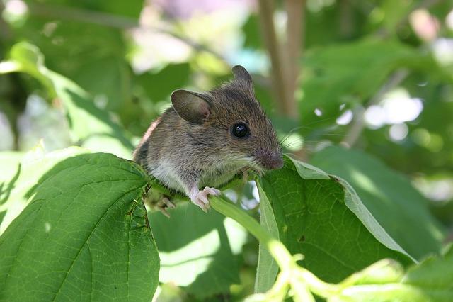 Tanaman Pengusir Tikus