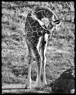 baby_giraffe_sm_bw